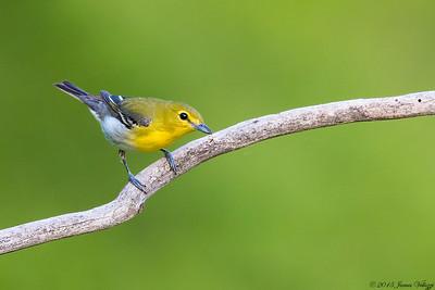 Yellow-throated Vireo, Vireo flavifrons