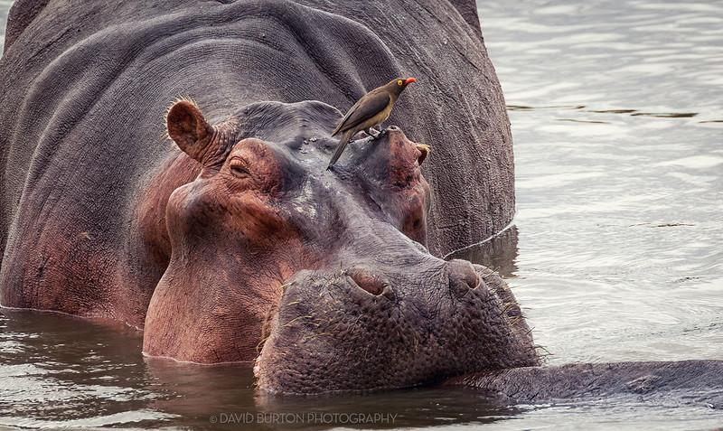 Bilimungwe_Hippo_2687cc2fx-web.jpg
