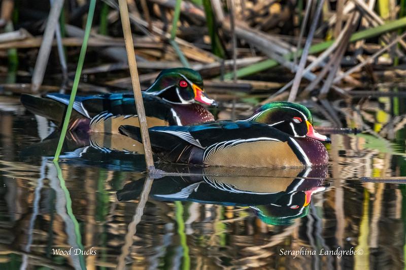 _DSC0955Two Wood Duck Drakes SLEEPY.jpg