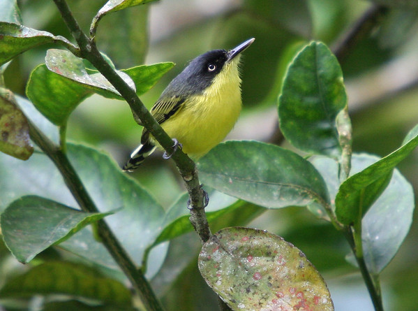Tody Flycatcher Costa Rica