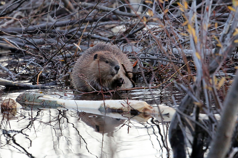 Beaver making repairs to it's dam