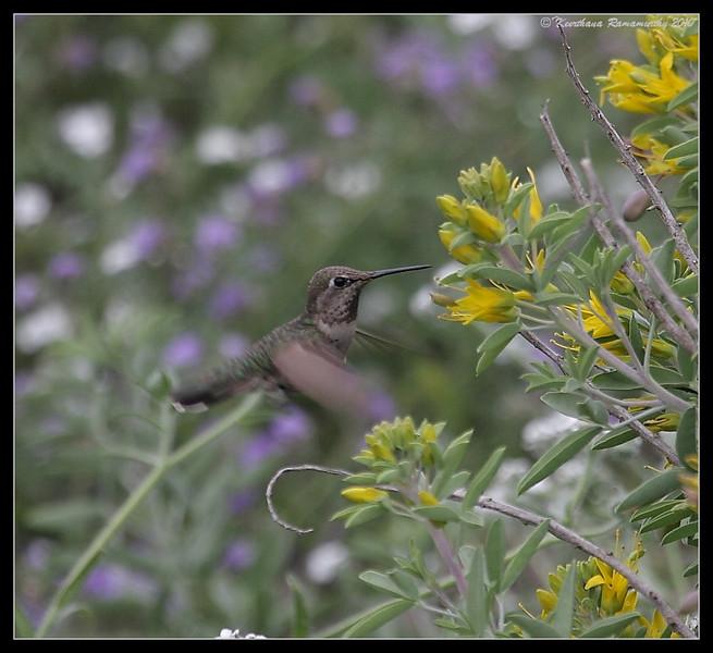 Anna's Hummingbird, Torrey Pines State Reserve, San Diego County, California, April 2010