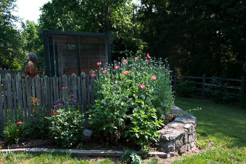 Gradually I've painted the exterior of the coop  This year's poppy crop was really nice as well.