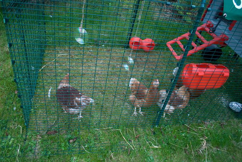 Chickens-16