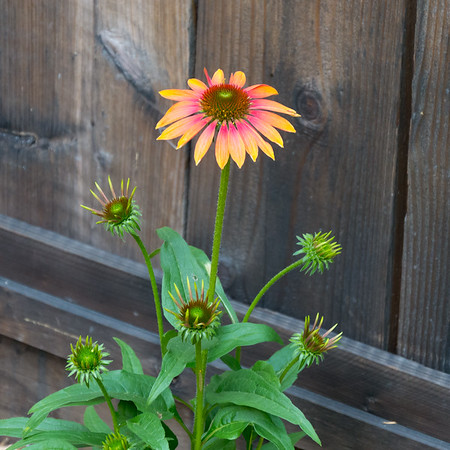 10 July 2017.   They're complexly-bred hybrids of many Echinacea species, all from eastern North America.  Nothing Californian.  Their form matches the parent wildflowers, but not the range of colors.