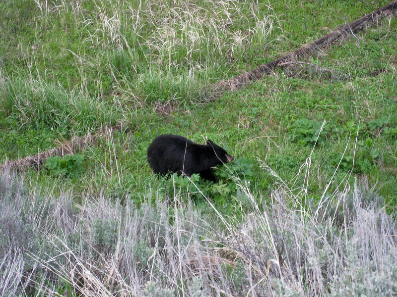 A 5-yr old male black bear