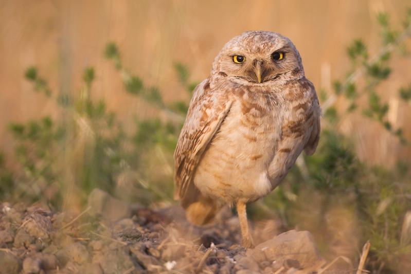 Burrowing Owl - Alviso, CA, USA