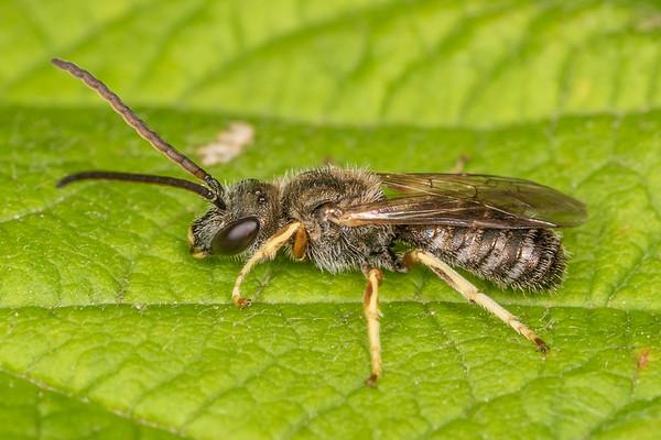 Halictus confusus - Confusing furrow bee (USA)