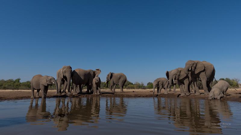 African Elephant, Mashatu GR, Botswana, May 2017-38.jpg