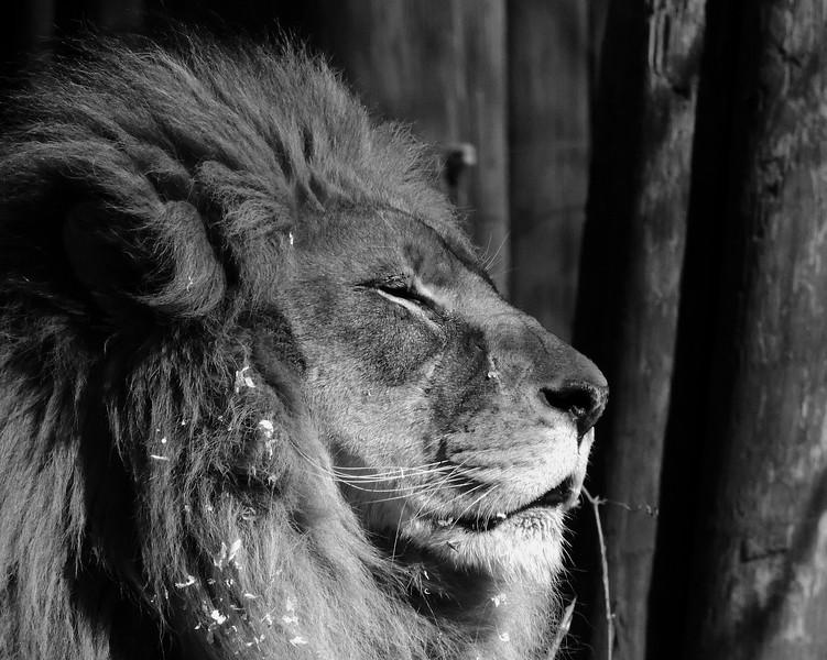 lion b&w.jpg