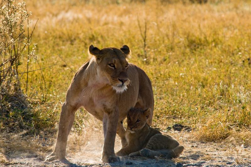 lion (7).jpg