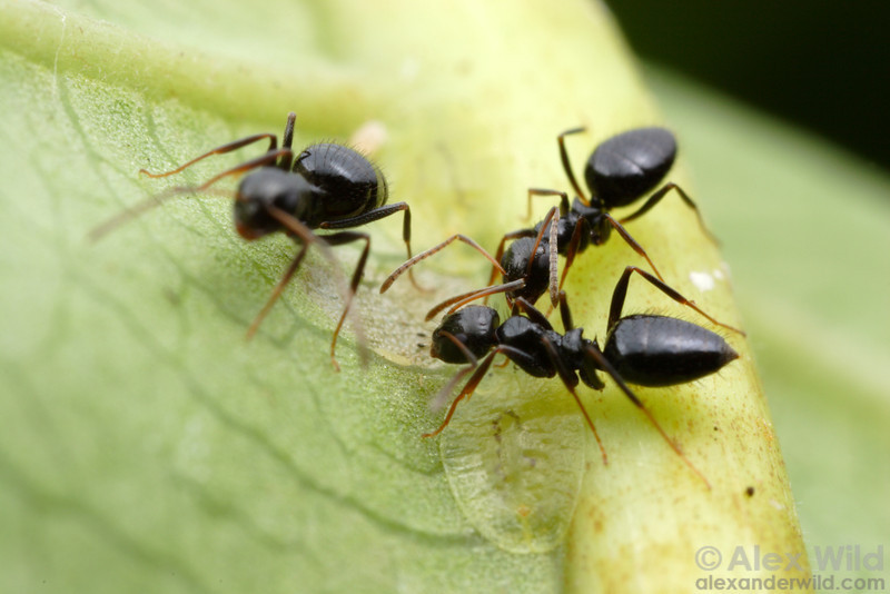 Formicine ants are often dependent on honeydew-producing insects.  Here, Lepisiota sp. workers tend to scale insects in a South African forest.