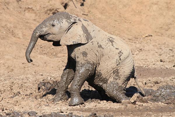 Elephant Mud Bath Mashatu Botswana 2013