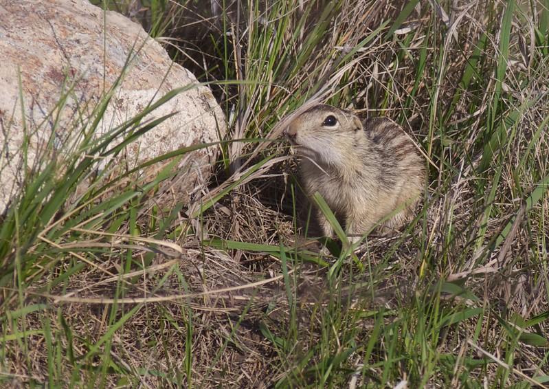 Thirteen-lined Ground Squirrel Felton Prairie Clay Co MN IMG_1622.jpg