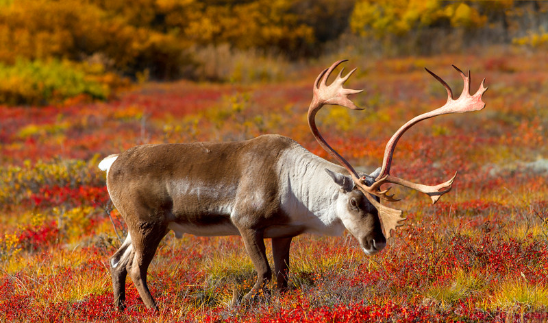 Caribou in autumn tundra, Denali National Park
