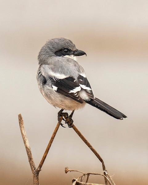Joan_Robins_181113-Loggerhead Shrike 16x20-131310.JPG