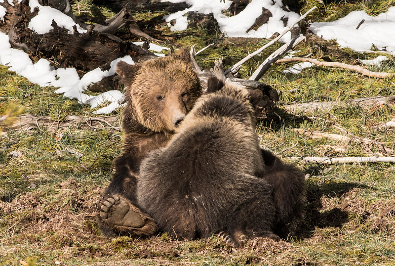 Grizzly sow and cub Yellowstone National Park WY DSC06636.jpg