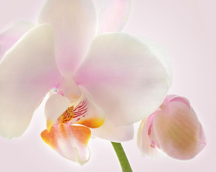 Pink Orchid Closeup