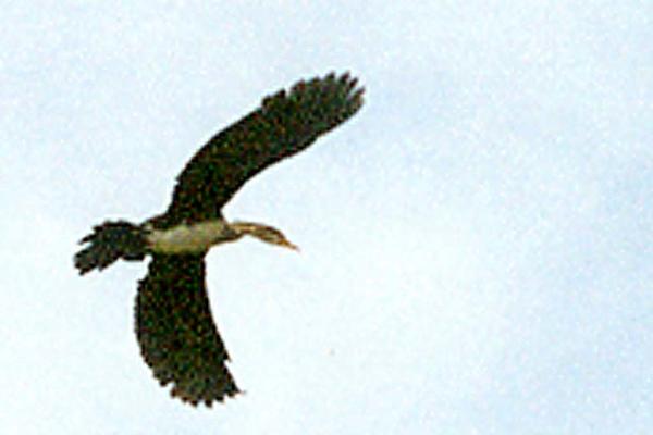 Long-tailed Cormorant