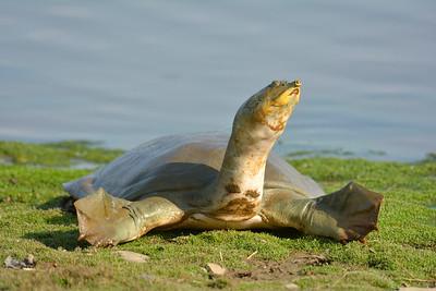 Indian softshell turtle