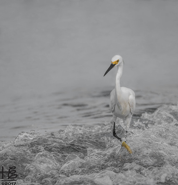 Snowy white egret in surf