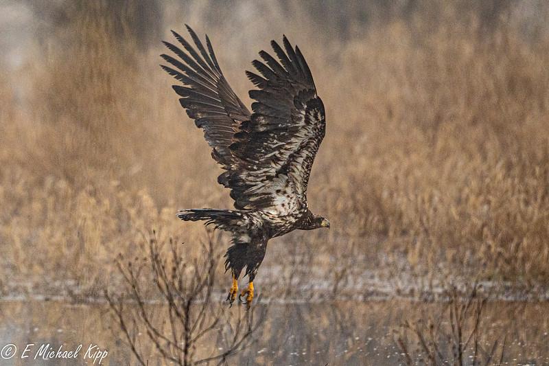 Bald Eagle - ImmatureK5D41030.jpg