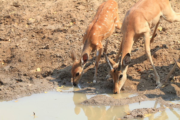 Antelope Kaingo Zambia 2013 and 2017