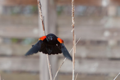 Blackbirds and Orioles