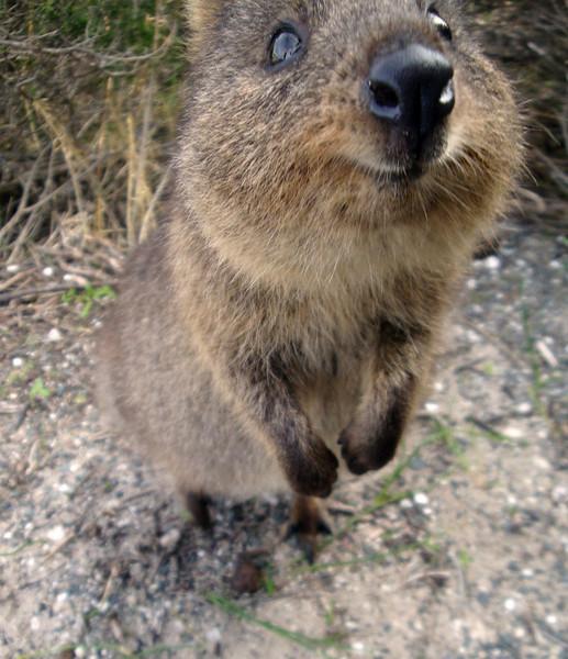 Quokka close-up Rottnest Is Australia 2009.jpg