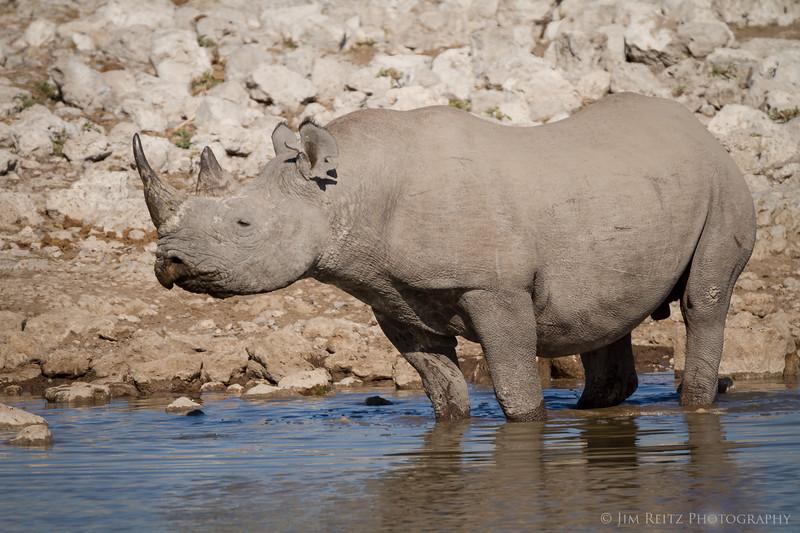 A Black Rhino at the Okuakuejo Camp water hole - Etosha National Park, Namibia.
