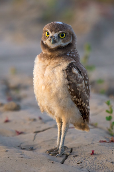 Burrowing Owl at Attention