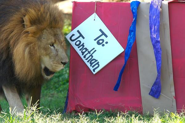 African Lion, Jonathan, enjoying a present