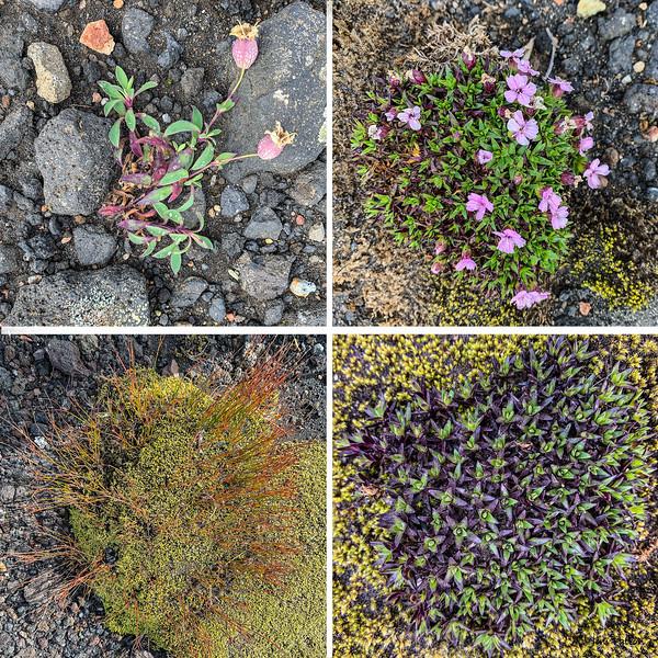 20190822_Iceland_Flowers.jpg