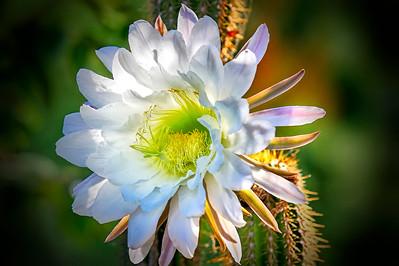 080705 Clayton Cactus