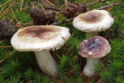 14.10.2013 - Russula laricina