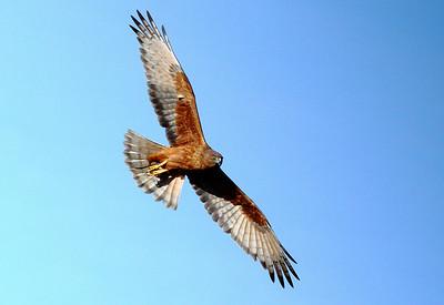 Harrier Hawks