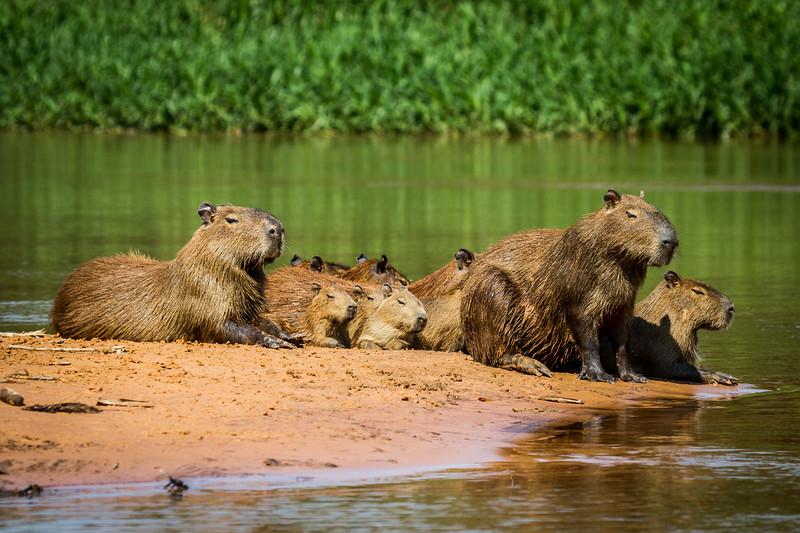 capybara (Hydrochoerus hydrochaeris) Pantanal, Poconé, Brazil. Family group.