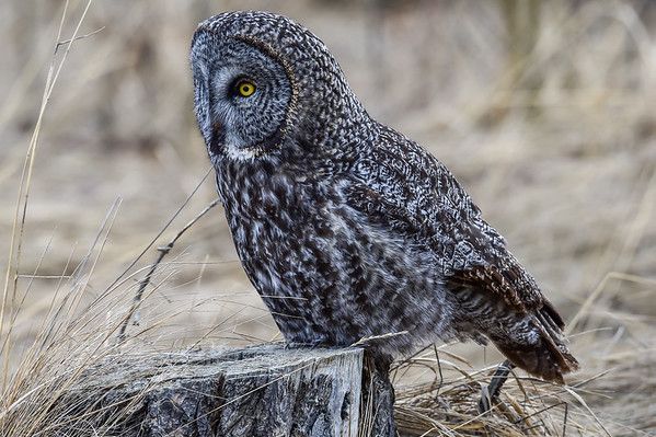 3-14-16 Great Gray Owl - Pt. 5