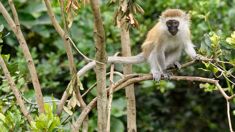 Vervet Monkey in the treetops - Kenya
