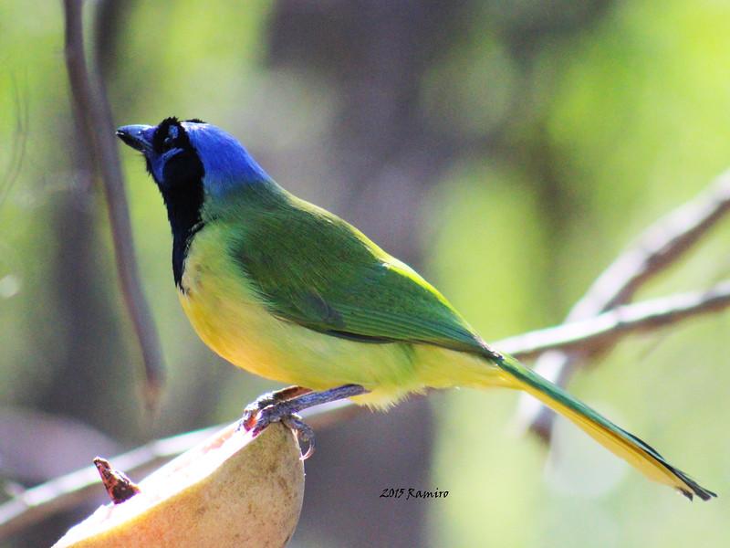 Green Jay 1-16-15 256.jpg