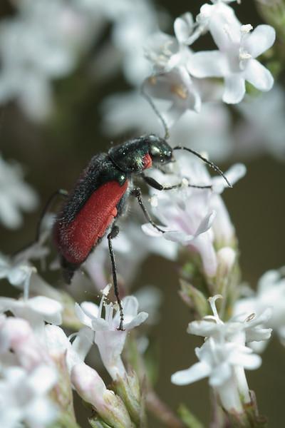 Soft-Winged Flower Beetles