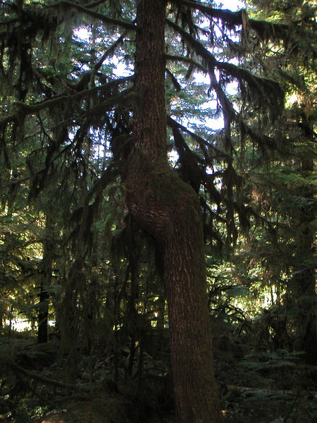 Knot Tree.jpg