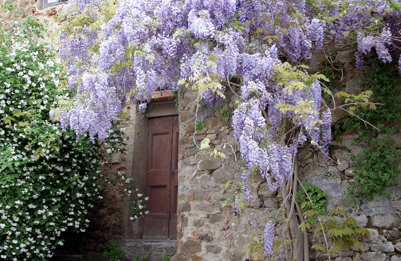 Wysteria on stone wall Vinci, Italy
