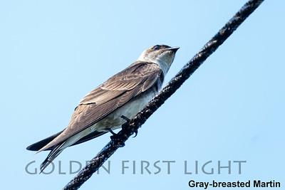 Gray-breasted Martin, State Atlantic Rainforest Park Ubatuba, Brazil