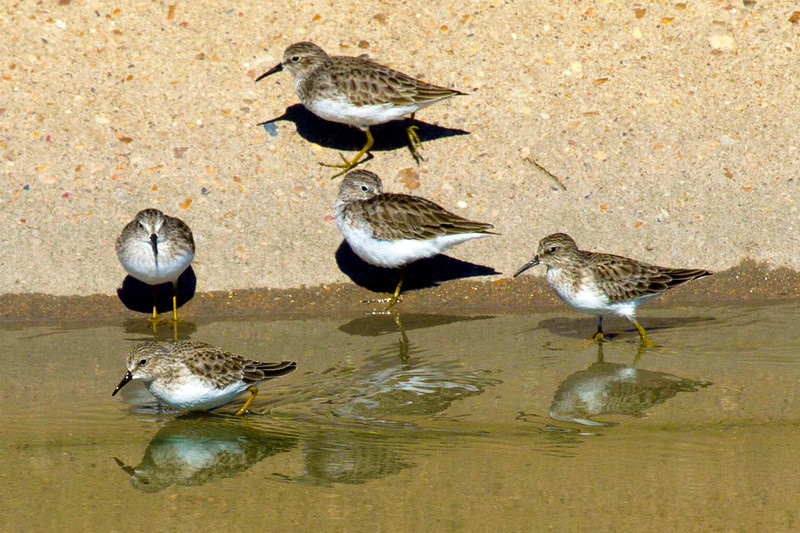 Five sandpipers and their reflections in Brays Bayou, Houston