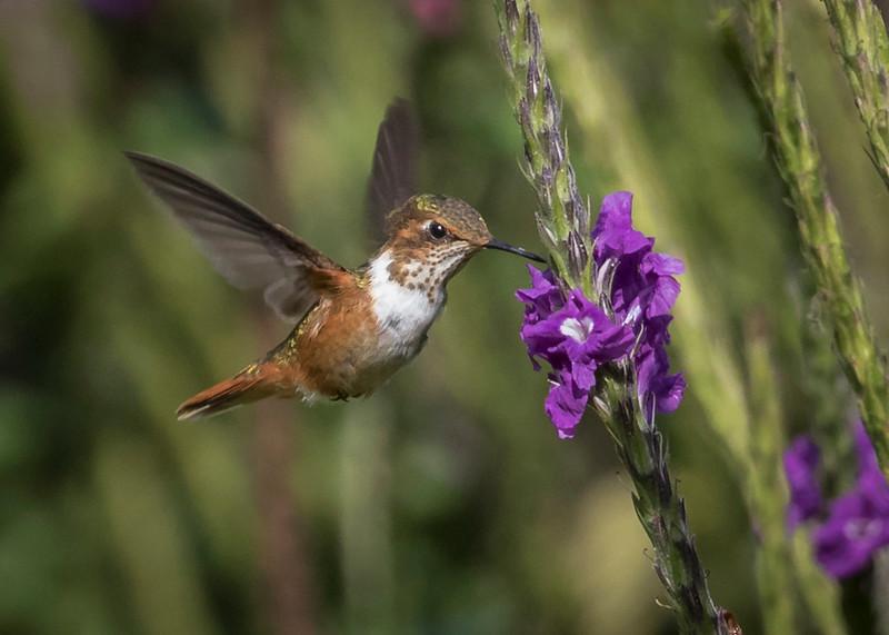 Allen's Hummingbird.jpg