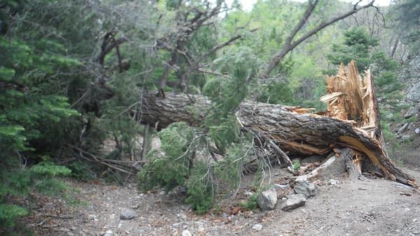 mag tree