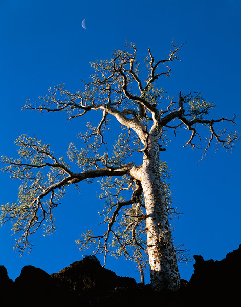 Tres Virgenes, Baja California Sur, Mexico / Elephant tree, Pachycormus discolor, in lava flow with crescent moon. 22002V3