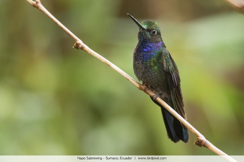 Napo Sabrewing - Sumaco, Ecuador