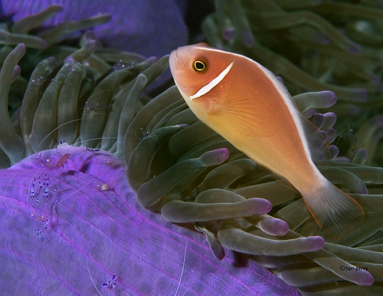 anemone purple1.jpg